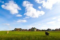 Коровы пасут на луге в солнечном дне Стоковая Фотография RF