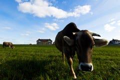 Коровы пасут на луге в солнечном дне Стоковая Фотография
