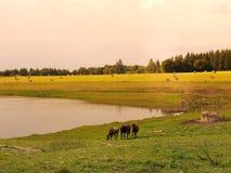 Коровы пасут на луге на заходе солнца Франции Пригороды ландшафта французских городов Стоковые Фотографии RF