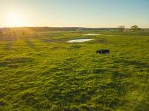 Коровы пасут на луге около пруда Стоковое Изображение