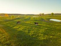 Коровы пасут на луге около пруда Стоковые Изображения