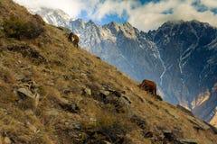 2 коровы пасут на наклонах горы около деревни Stepantsminda Страна Georgia Стоковое Фото