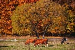 Коровы пасут на окраинах леса осени Стоковые Изображения