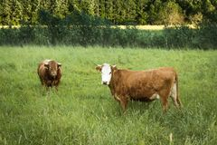 Коровы пасут на поле в вечере лета Стоковые Фотографии RF