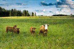 Коровы пасут на поле в вечере лета Стоковые Изображения RF