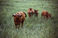 Коровы пасут на поле в вечере лета Стоковые Изображения