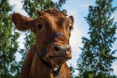 Коровы пасут на поле в вечере лета Стоковое Изображение