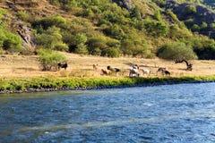 Коровы пасут на речном береге Стоковое Изображение