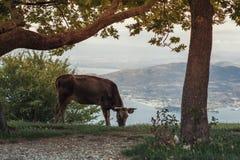 Коровы пасут на луге горы на заходе солнца Греции Корова на горе напротив греческого города Volos Стоковое фото RF