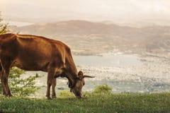 Коровы пасут на луге горы на заходе солнца Греции Корова на горе напротив греческого города Volos Стоковая Фотография