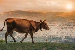 Коровы пасут на луге горы на заходе солнца Греции Корова на горе напротив греческого города Volos Стоковое Изображение