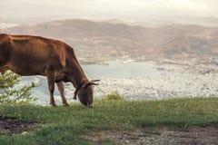 Коровы пасут на луге горы на заходе солнца Греции Корова на горе напротив греческого города Volos Стоковые Фото