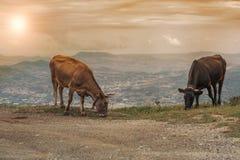 Коровы пасут на луге горы на заходе солнца Греции Корова на горе напротив греческого города Volos Стоковые Фотографии RF