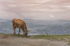 Коровы пасут на луге горы на заходе солнца Греции Корова на горе напротив греческого города Volos Стоковое Фото