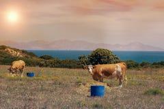 Коровы пасут на луге горы на заходе солнца Греции Корова на горе напротив моря Стоковые Фото