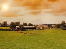 Коровы пасут на луге горы на заходе солнца Франции Корова на горе напротив моря Стоковые Изображения RF