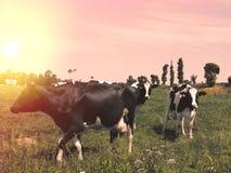 Коровы пасут на луге на заходе солнца Франции Стоковое Фото