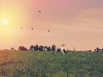 Коровы пасут на луге на заходе солнца Франции Стоковое фото RF