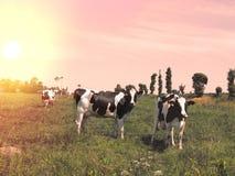 Коровы пасут на луге на заходе солнца Франции Стоковая Фотография