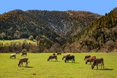 Коровы пасут на луге против голубого неба Грузия Стоковое Изображение RF