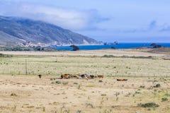 Коровы пасут свежую траву на луге в парке штата Эндрью Molina Стоковое Фото