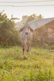Коровы пасут Стоковое Фото