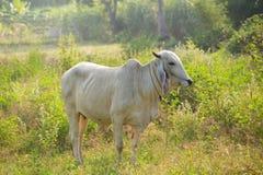 Коровы пасут Стоковая Фотография RF