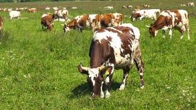 коровы пася выгон Стоковое Изображение RF