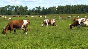 коровы пася выгон Стоковое фото RF