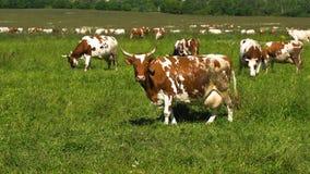 коровы пася выгон Стоковое Изображение