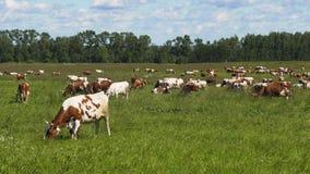 коровы пася выгон Стоковое Фото