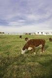 Коровы пася в выгоне. Стоковое Фото