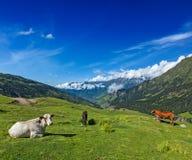 Коровы пася в Гималаях Стоковая Фотография RF