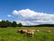 Коровы пася в горах Cevennes, Франция Стоковая Фотография RF