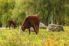 Коровы пася в лесе осени Стоковые Изображения