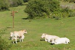 Коровы пася в зеленом луге Наварры Стоковое Фото