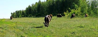 Коровы пася в зеленом лужке Стоковое Изображение