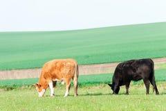 Коровы пася в зеленом поле весеннего времени Моравия взгляд городка республики cesky чехословакского krumlov средневековый старый Стоковые Изображения