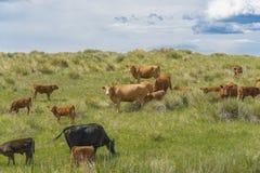 Коровы пася в зеленом поле 3 Стоковое Фото