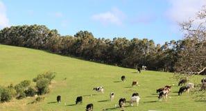 Коровы пася в зеленом внешнем поле Стоковые Фото
