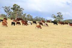 Коровы пася в зеленом внешнем поле Стоковое фото RF