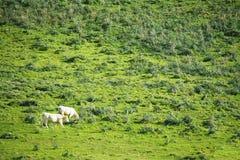2 коровы пася в зеленом поле Стоковое фото RF
