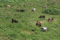 Коровы пася в зеленом поле Стоковое Изображение