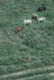 Коровы пася в зеленом поле Стоковые Фото