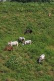 Коровы пася в зеленом поле Стоковое Изображение RF