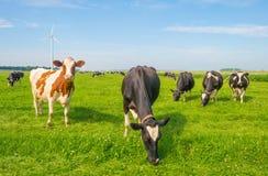 Коровы пася в зеленом луге в лете Стоковые Изображения