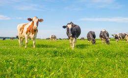 Коровы пася в зеленом луге в лете Стоковое фото RF