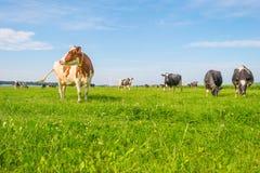 Коровы пася в зеленом луге в лете Стоковые Изображения RF