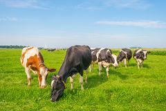Коровы пася в зеленом луге в лете Стоковая Фотография