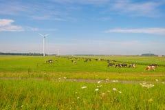 Коровы пася в зеленом луге в лете Стоковые Фото